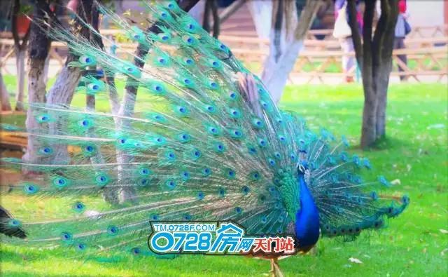 可爱七彩孔雀图片